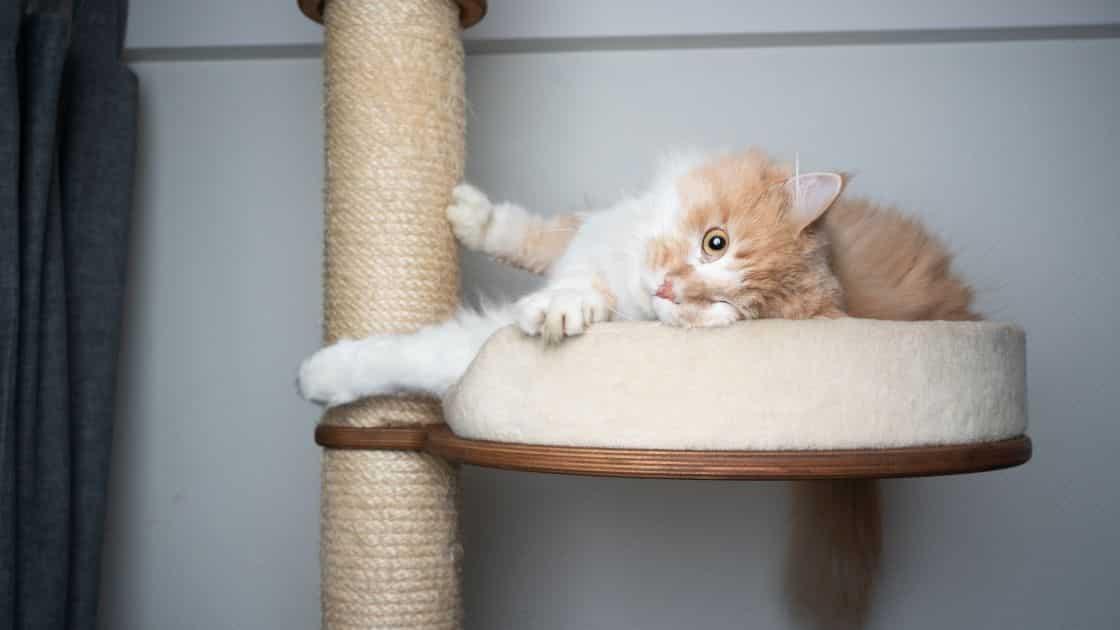 gatto graffia il divano? Utilizza un tiragraffi