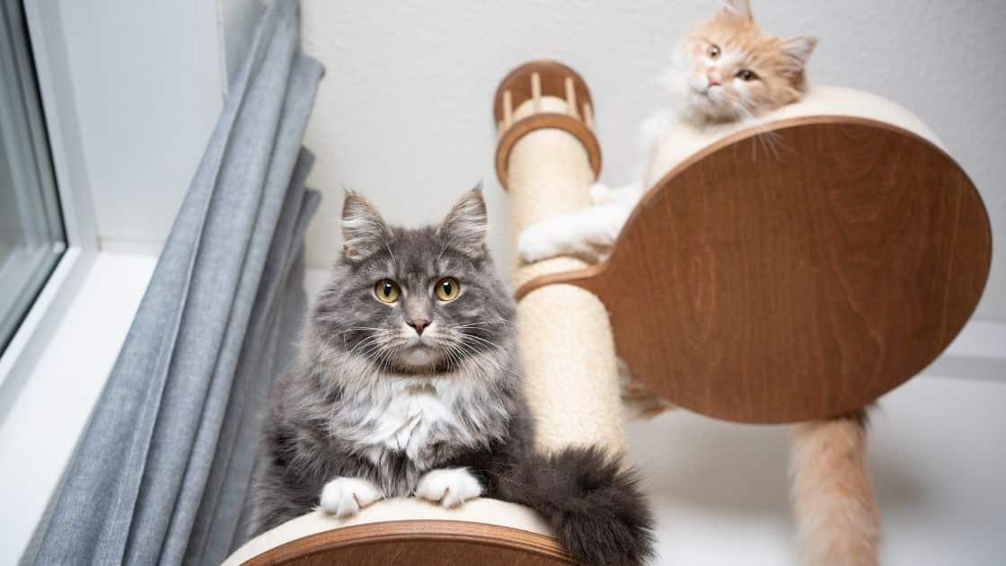 miglior tiragraffi per gatti grandi xxl